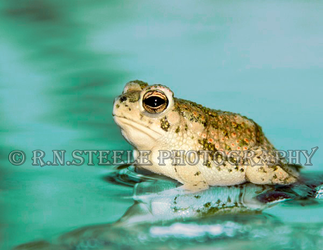 Texas Toad by RNSteele-Photography