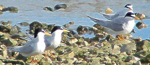 terns on stones by Wingnut55