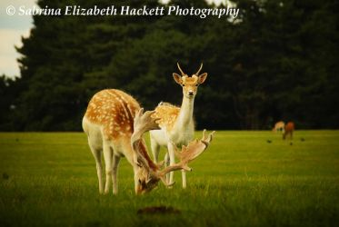 Deer Image Two by Hitomii