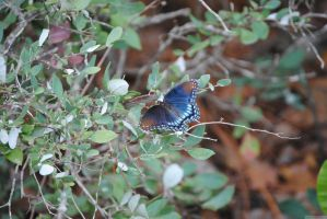 Nannys butterfly 1 of 2 by CliftonFomby