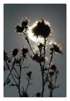 thistle by MaComiX