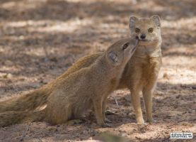 A mongoose and his mother by jaffa-tamarin