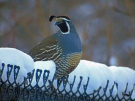 Golden Snow Quail by wolfwings1