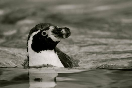 Humboldt Penguin - London Zoo by colexus