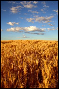 Wheat Kings by Stewdog