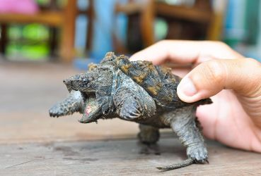 Alligator Snapping Turtle (3) by Bassiizze
