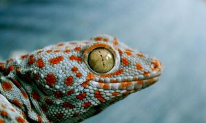 Tokay Gecko by Amalthera