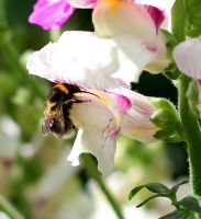 Garden Bumblebee V Snapdragon by S4MMY4RT
