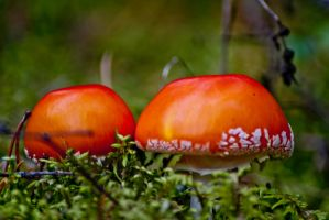 Amanitas1 by bulgphoto