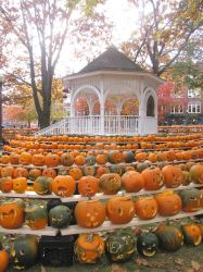 Rows of Pumpkins by craftywench-nh