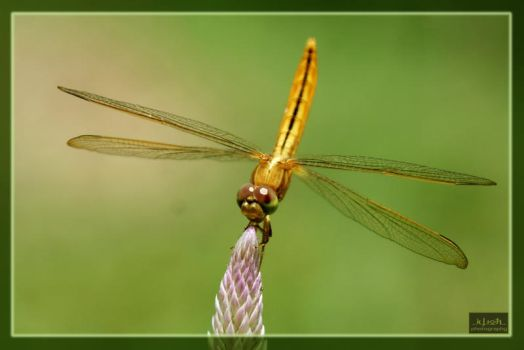 Another yellow Dragon Fly by iwoth