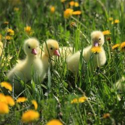 Ducklings by Deathbypuddle