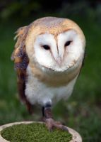 Young Barn Owl by Steve-FraserUK