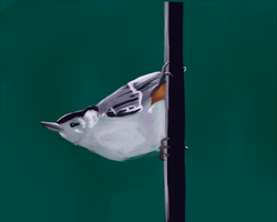 White-breasted Nuthatch by Rainydaysmiles