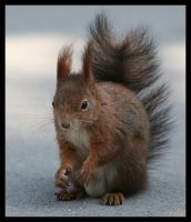 Squirrel by AF--Photography