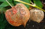 Physalis Bare by KateHodges