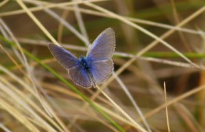 Common Grass Blue Butterfly by wolftraz