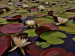 South Tract White Water Lilies 2018 by Matthew-Beziat