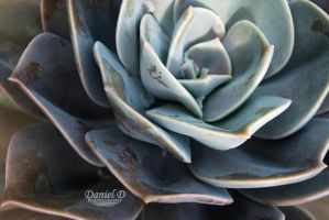 Echeveria Close Up by MrDannyD