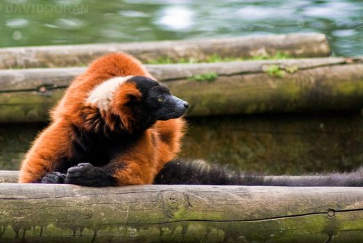 Red-ruffed Lemur by Dave-D