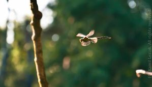 Dragonfly during flight by vertiser