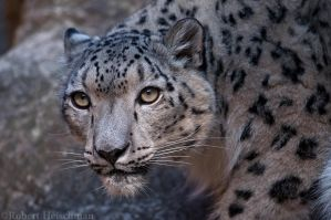 Snow Leopard 0300 by robbobert