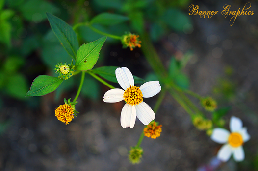 A Daisy Life by BannerGraphics