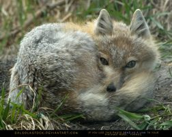 Sleepy Swift Fox 3 by SalsolaStock
