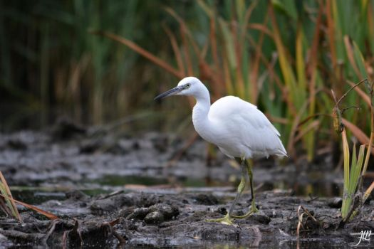 Aigrette Garzette by JU-LP