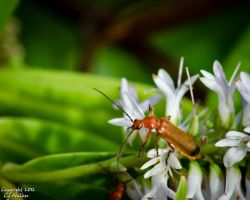 Common Red Soldier Beetle by AstarothSquirrel