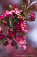 Pink Tree Blossom by JYB-Photography