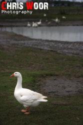 Goose by ChrisWoorPhotography