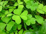 water drops on clover by Lionpelt-66