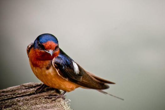 Barn Swallow by CharlesWb