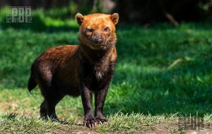 The Bush Dog by PictureByPali