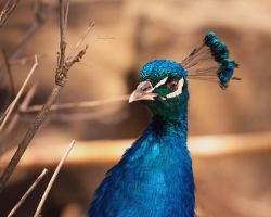 Peacock by DannyRoozen