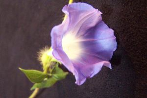 Morning, Glory by anonymoose1
