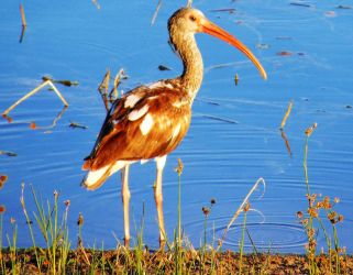 Young Ibis (1) by knighttemplar1