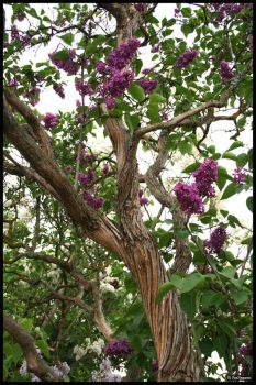 Lilac Tree in bloom by Pax-Nemesis
