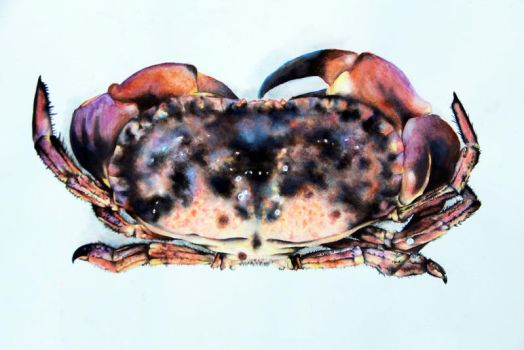Crab #1 by katebeaarch