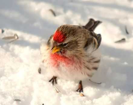 Carduelis hornemanni IX by nordfold