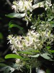 Sweet Autumn Clematis by Annezon