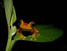 Froggy by Mallophora