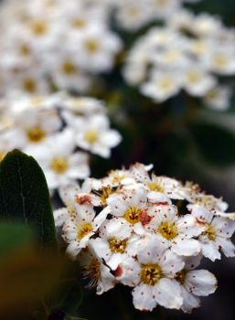 White blossoms by Lodchen-Photography