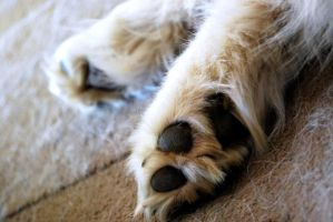 the paws of a samoyed. by x-kuroneko
