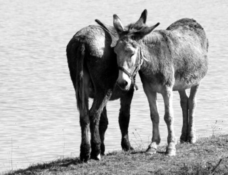 Two donkeys by UdoChristmann