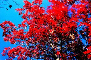 Red leaves by Sunlandictwin
