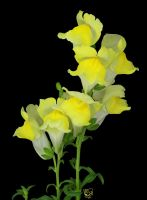 Yellow Snapdragons by FauxHead