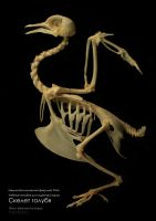 Skeleton of a pigeon by hontor