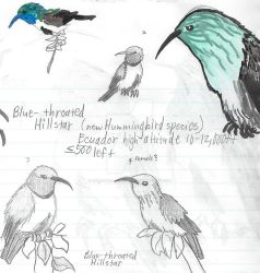 Blue-throated Hillstar Hummingbird Studies by Paws-for-a-Moment